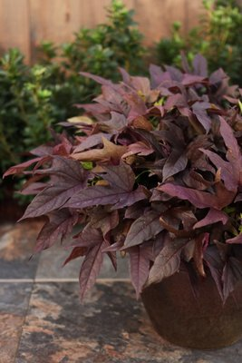 Sweet Potato Vine - Ipomea Red